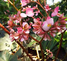 "Begonia X Ricinifolia ""Dainty and Pink"" Flower Plant by artkrannie"