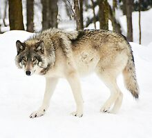 I am the Alpha Wolf by Poete100