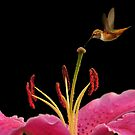 PINK LILY AND HUMMINGBIRD by RoseMarie747