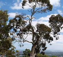 A shapely old Gum Tree, Mount Osmond. Adelaide Hills. by Rita Blom