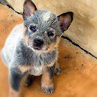 Australian Cattle Dog Pup by Deanna Gardam