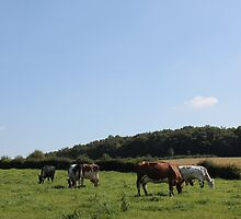 Grazing Cows by stine1