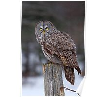 Piss Off! - Great Grey Owl Poster