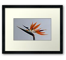 The bird of paradise flower Framed Print