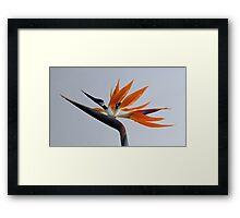 The bird of paradise flower Framed Print