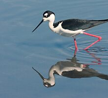 Black-necked Stilt - Huntington Beach California by Ram Vasudev