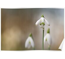 Snowdrops enjoying the light... Poster