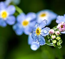 Brunnera Macrophylla by jcollett