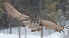 Duck! - Great Grey Owl by Jim Cumming