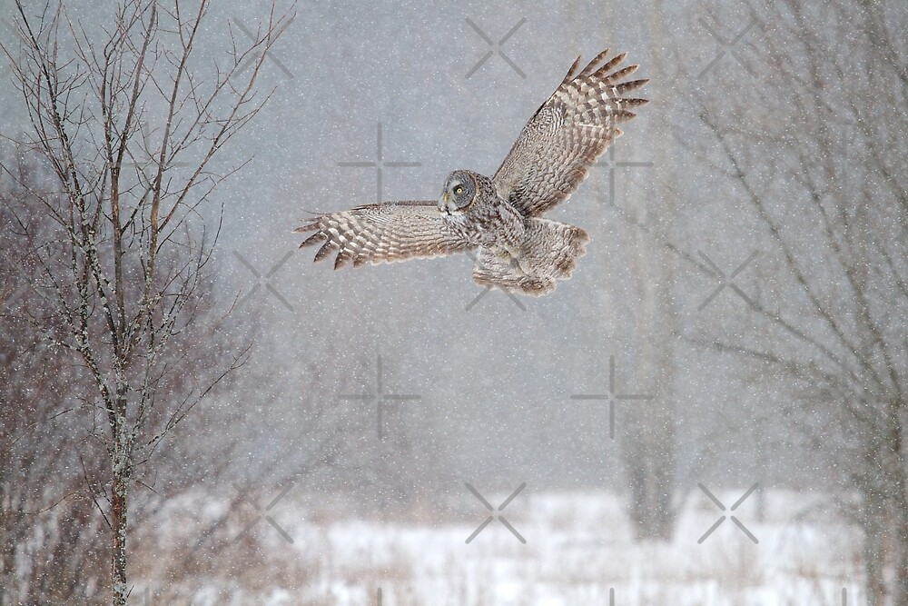 Towards the Heavens - Great Grey Owl by Jim Cumming