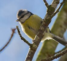 Blue Tit.. by Lauren Tucker