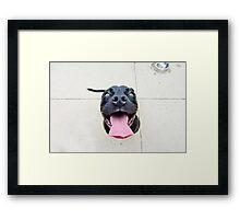 Pit bull smiles! Framed Print