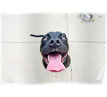 Pit bull smiles! Poster