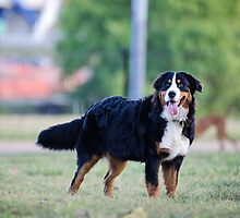 The beauty of the Bernese. by TheJill