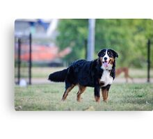 The beauty of the Bernese. Canvas Print