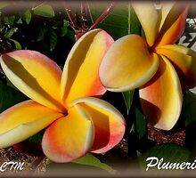 PLUMERIA IN MY YARD by FL-florida