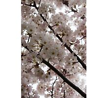 Spring is Beautiful - A Cloud of Pastel Pink Blossoms Photographic Print