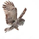 Incoming - Great Grey Owl by Jim Cumming