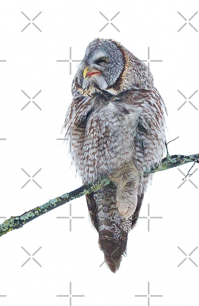 Just chillin - Great Grey Owl by Jim Cumming