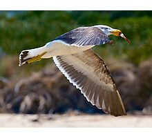 Young Pacific Gull Photographic Print