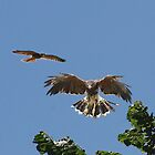 Red Kite and Harris hawk  by Irene  Burdell