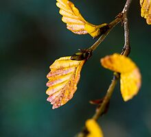 Fagus Leaves by Fiona Huddleston