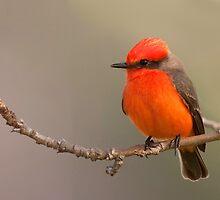 Vermilion Flycatcher - Torrance California by Ram Vasudev