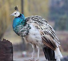 White Peacock by KansasA