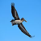 Pelican Flying High by Cynthia48