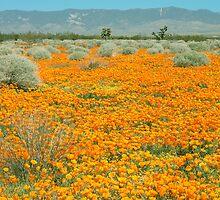 Poppies for Ever - Poppy Fields Mohave Desert California by Ram Vasudev
