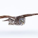 Low Flyer - Great Grey Owl by Jim Cumming