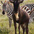 Wildebeest and Zebra by Philip Alexander
