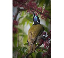 Blue face honey eater Photographic Print
