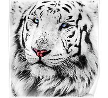 White Tiger Portrait Poster