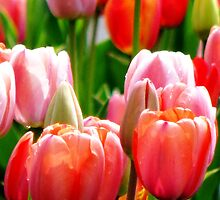 Among The Tulips by AngieDavies