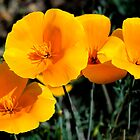 California Wild Poppy aka Golden Poppy by George I. Davidson