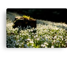 The Stump and the Snowdrops Canvas Print