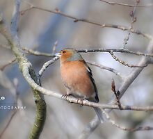 """"""" Male Chaffinch And The First Buds Of Spring """"  by Richard Couchman"""