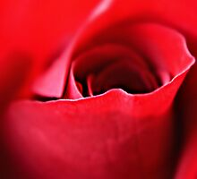 The rose speaks of love silently by Scott Mitchell