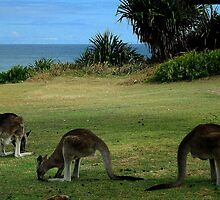 Three Kangaroos in the Yuraygir National Park by myraj