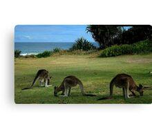 Three Kangaroos in the Yuraygir National Park Canvas Print