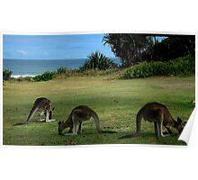 Three Kangaroos in the Yuraygir National Park Poster