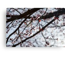 Lighted Blossoms Canvas Print