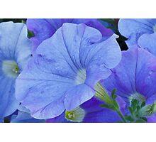 Blue Petunia Blossom Photographic Print