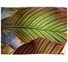 Striped Canna Lily Leaves Poster
