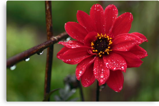 Rainy Day Dahlia by Clare Colins