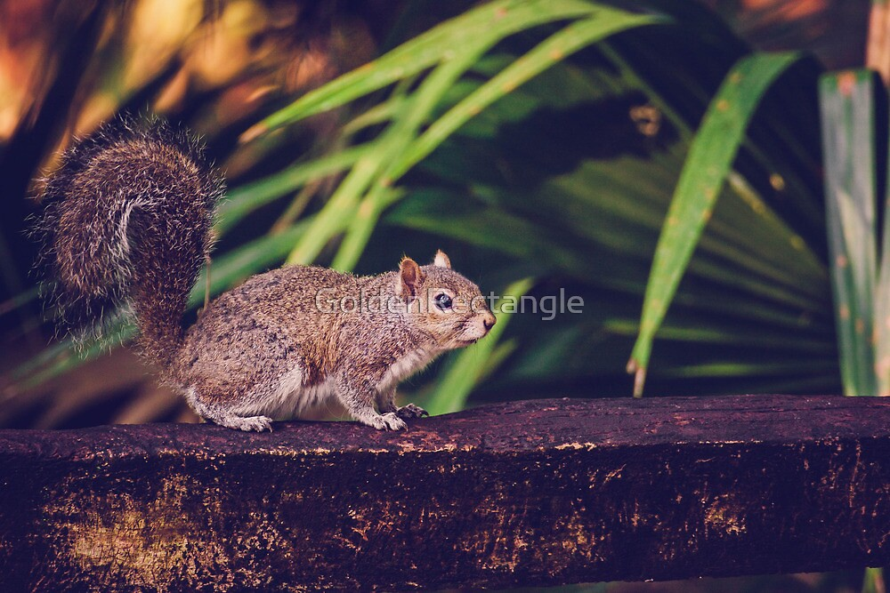 *Squirrel1 by GoldenRectangle