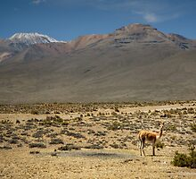 Vicuna Altiplano Peru by nick board