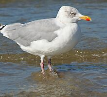 Common European Gull by Stefanie Köppler