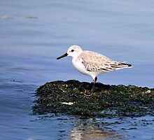 Sanderling by SuddenJim
